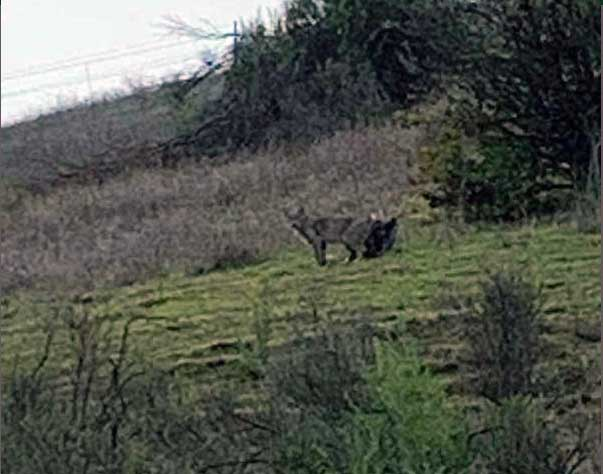 bobcat found in wood ranch, danville ca