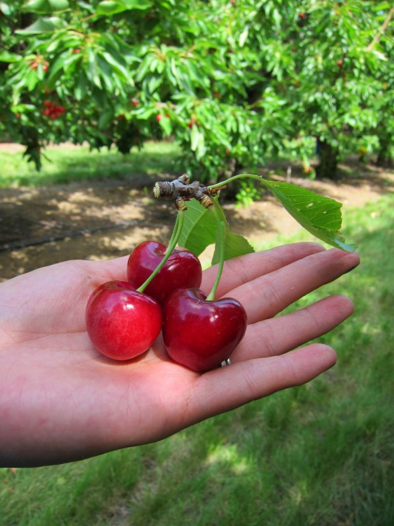 Cherry Picking, Brentwood, Ca.